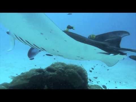 diving fish manta from papua HD