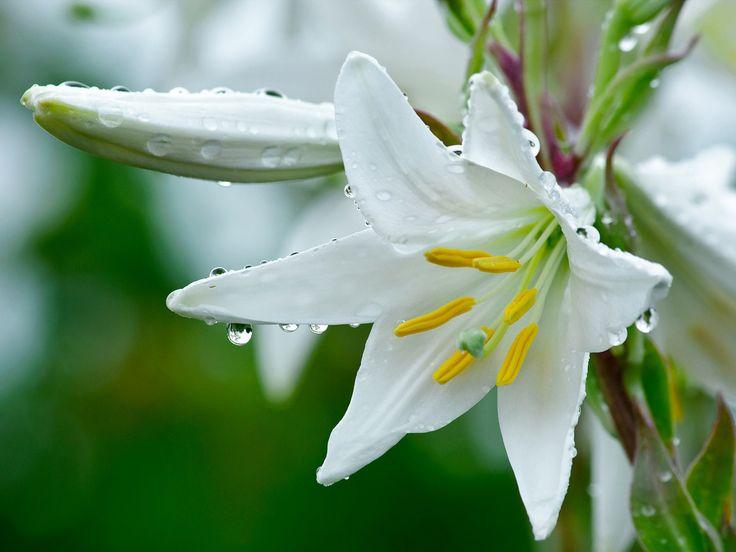 Giglio bianco-Secondo la leggenda, quando la tomba di Maria fu visitata tre giorni dopo il suo funerale, apparve un intero mazzo di magnifici gigli bianchi.
