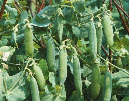 Выращивание гороха — урожай больше в 4 раза