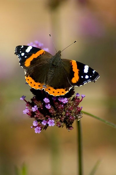 British Butterflies (britbutterflies) on Twitter Red Admiral