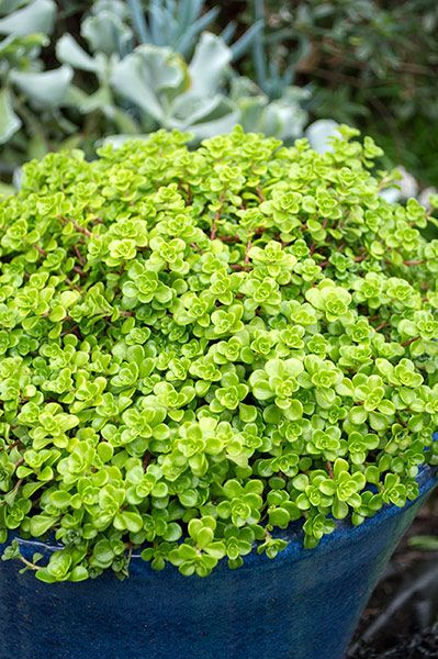 Deer Resistant Shade Ground Cover Perennial
