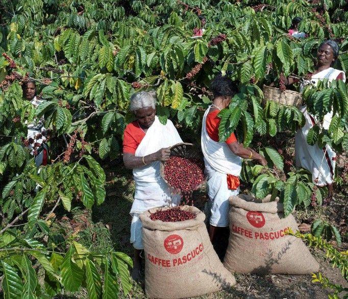 il grande Prasad, raccolta del caffè in India