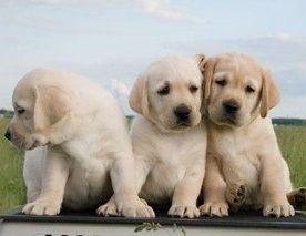 Содержание лабрадора и уход за собакой
