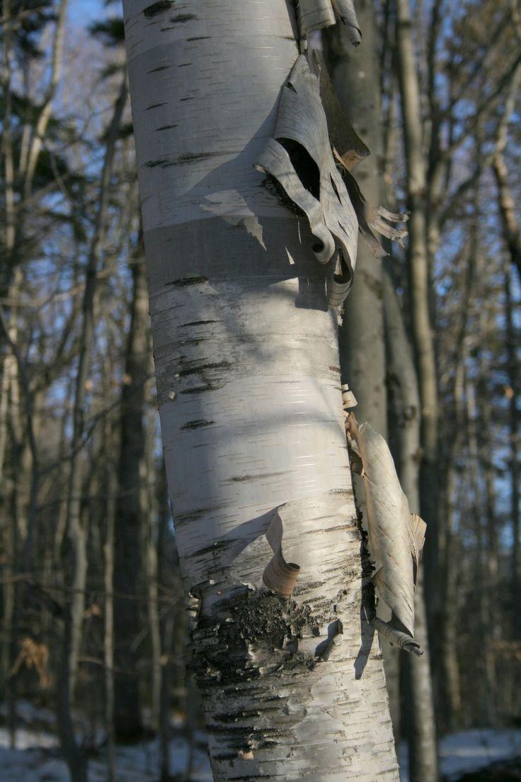 birch tree wallpaper traditional - photo #44