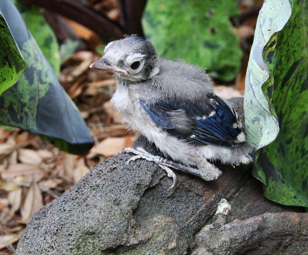 Baby blue jay | Birds | Pinterest