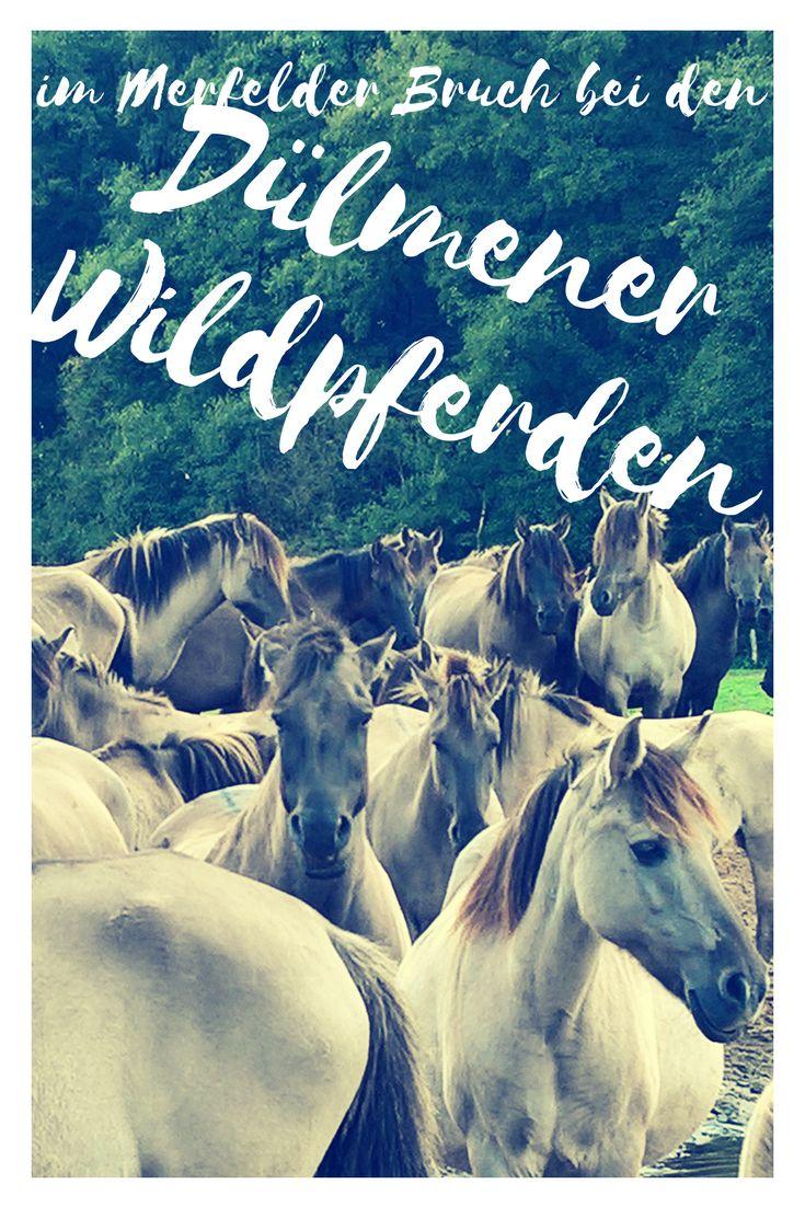 Die Wildpferde im Merfelder Bruch in Dülmen waren das Highlight unseres Kurztrips mit dem Bulli ins Münsterland. #roadtrip #pferdeliebe #kurzurlaub