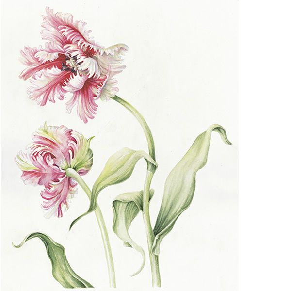 Tulipa Estella Rhijnveld