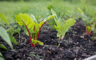 Swiss Chard Spring Planting When To Plant Chard In Spring 640 x 480