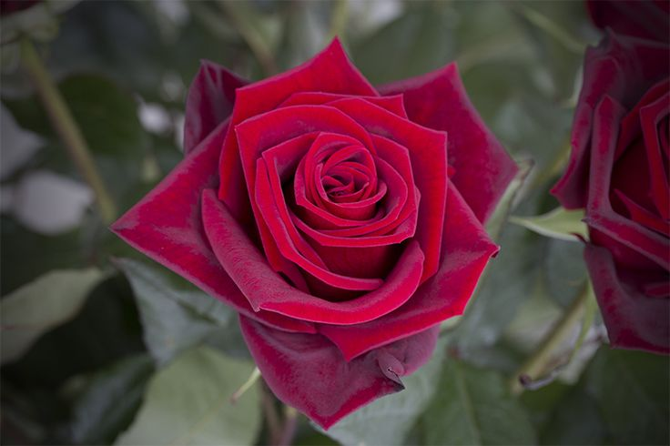 """""""Got your spell on me, baby.""""- Santana. Black Magic is a tantalizing red rose with petals like red velvet and a large star-shaped bloom. Black Magic is perfect to express just how passionate you're feeling towards that special person in your life. #Royal #Roses"""