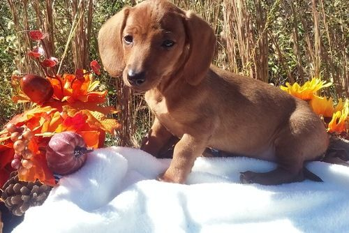 Miniature Dachshund Puppies For Sale | Albuquerque, NM Puppy