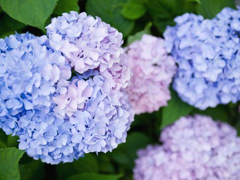Plant Hydrangeas this summer!   http://www.ivillage.com/things-do-your-garden-summer/7-a-536480