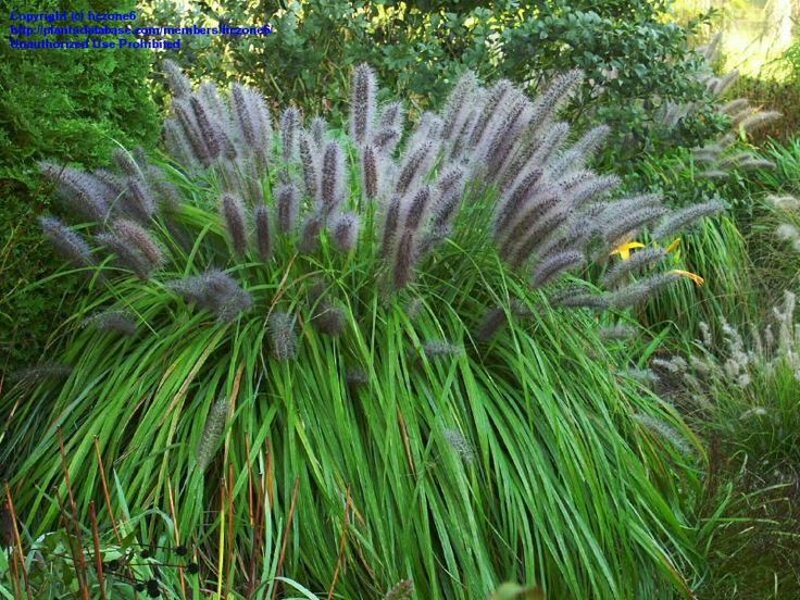 54 best images about ornamental grasses on pinterest for Low mounding ornamental grasses