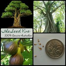 50+ SACRED FIG TREE SEEDS (Ficus religiosa) Indian Peepal Hindu Medicinal Bonsai