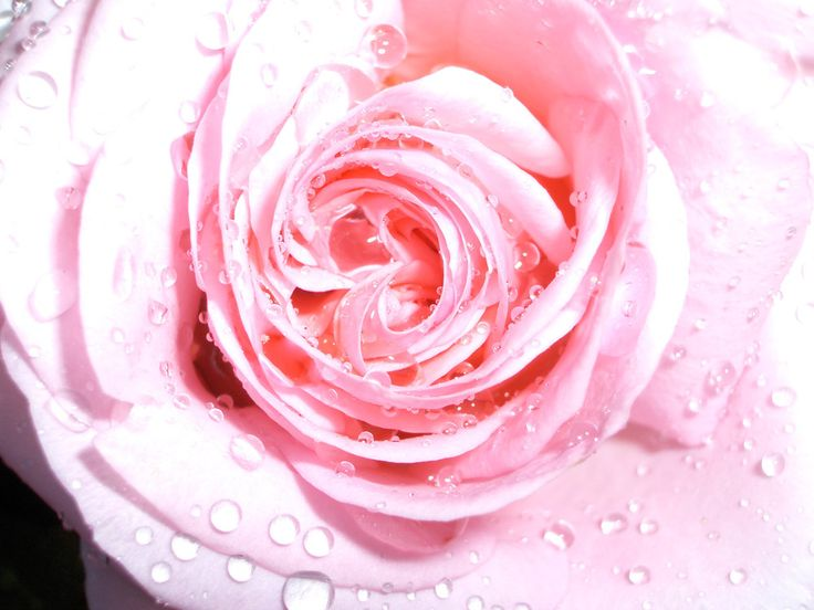 Rose in rain / Ros i regn