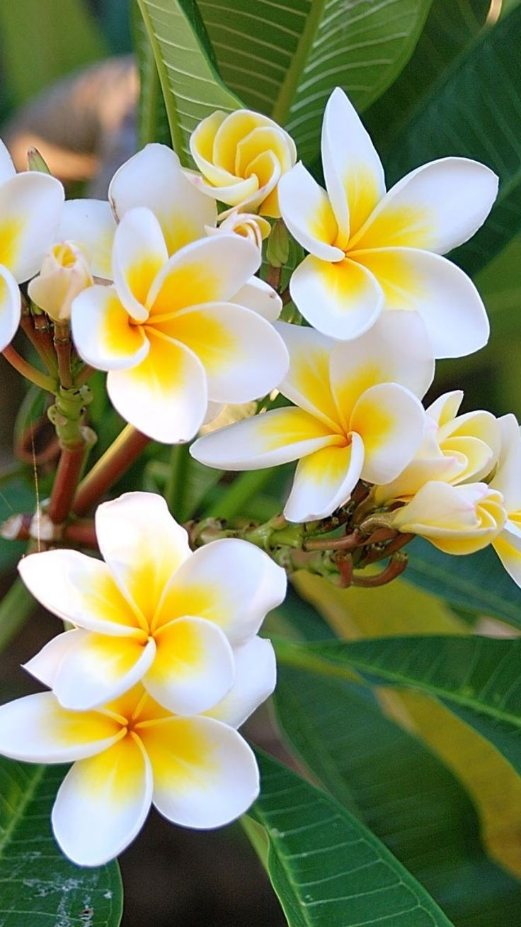 plumeria, green, white, leaves
