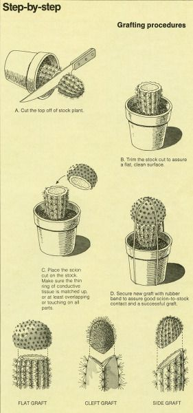 Cactus Grafting