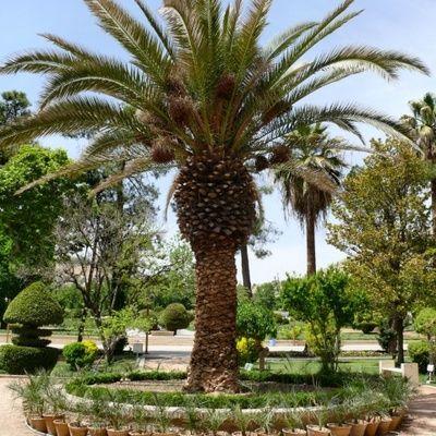 Comment tailler un palmier guide pratique astuces conseils jardin technique pinterest - Comment couper un palmier mort ...