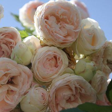 Just Beautiful.  (Eden Heirloom/David Austin/Cabbage/Old English Roses)