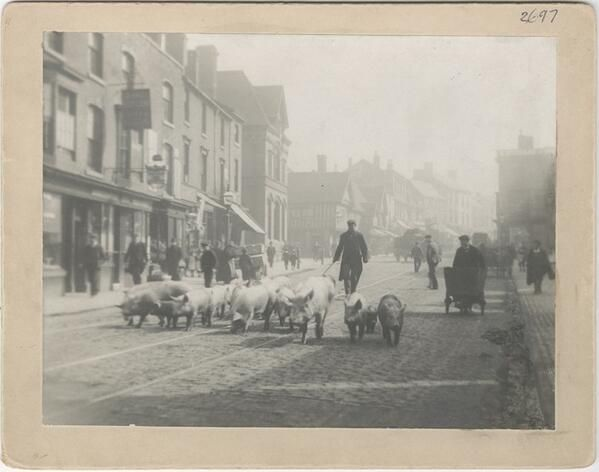 pigs in the street, 1903
