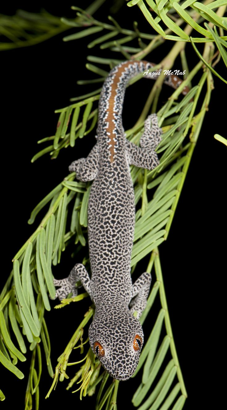 ˚Golden-tailed Gecko (Strophurus taenicauda)