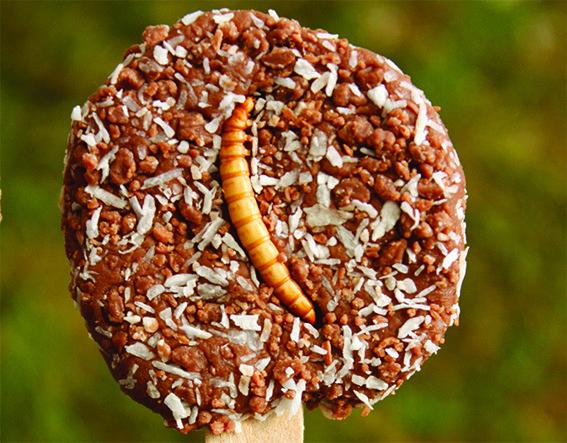 Chocolade truffel met meelworm: