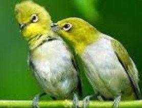 http://memelihara.com/ternak-burung-pleci.html