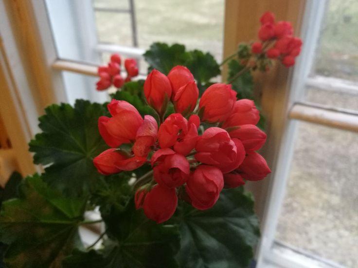 Pelargoni 'Red Pandora'