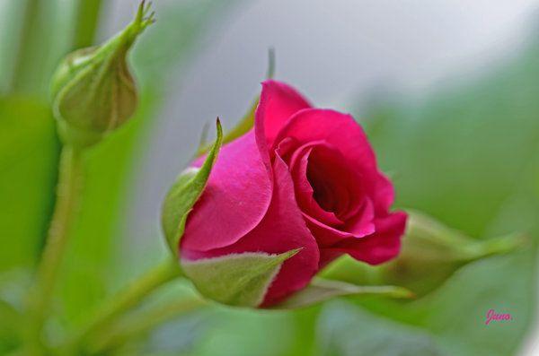 Pink Beauty Flower Single Rose: 122 Best A Single Rose Images On Pinterest