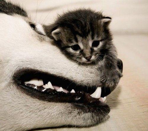 tiny kitten, big dog, becoming friends