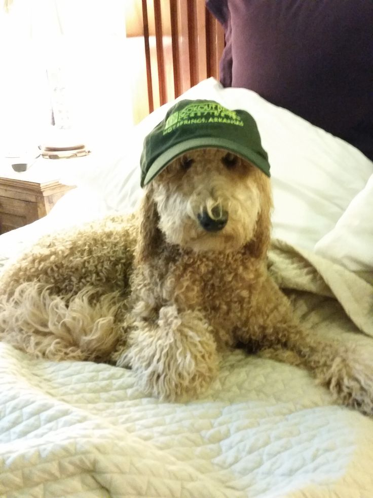 Hank A Labradoodle Shows Off His Gear Before Going For Ride On The Boat