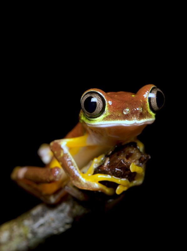 Lemur Leaf Frog (Agalychnis lemur) - Costa Rica