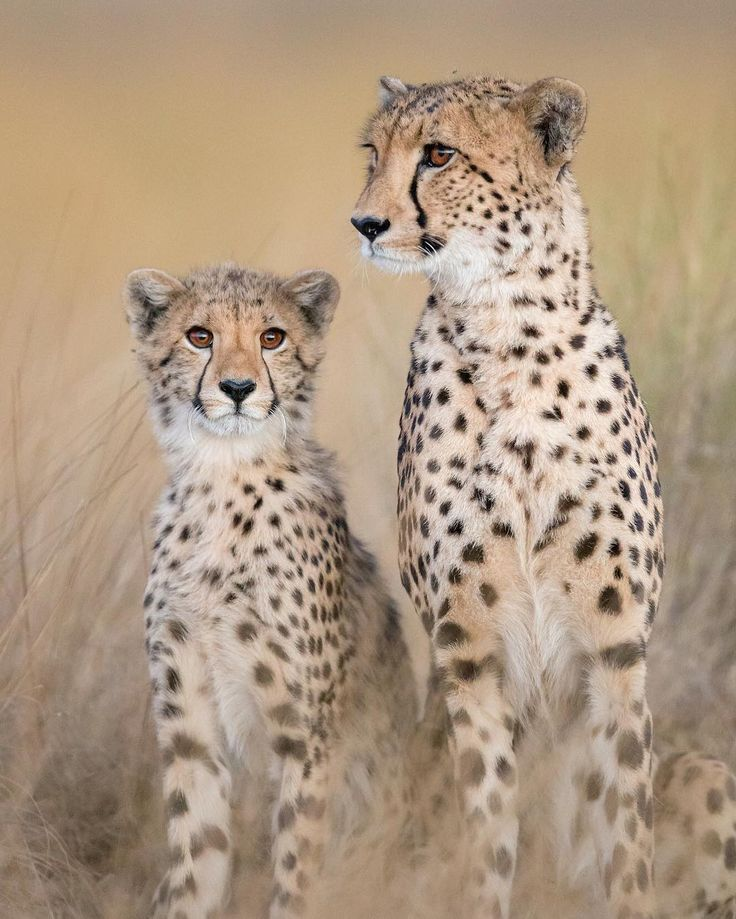 Cheetah mother and cub by Will Burrard-Lucas Liuwa Plain, Zambia.