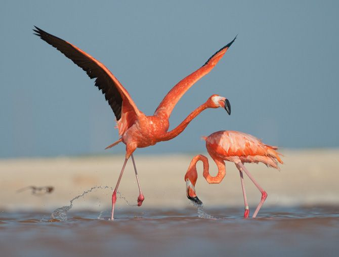 Flamingos from the Caraiben