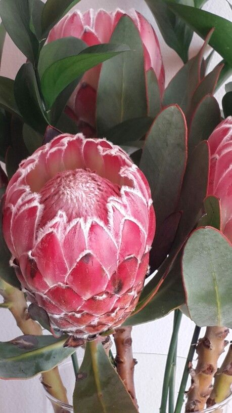 Proteas - Year Round