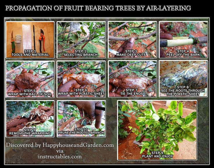 Propagation Of Fruit Bearing Trees By Air-Layering | Happy House and Garden Social Site.  Click the image or website link to see the article now!