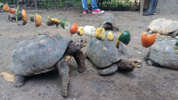Some fun enrichment activities for the morrocoy turtles!