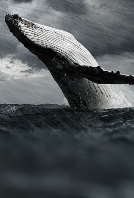 humpback whale, breach