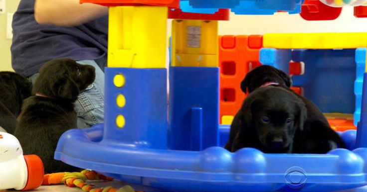 It costs $50,000 to train a guide dog for the blind, whether they graduate from the program or not. One nonprofit is now using IBM's Watson to better predict which puppies are up to the task. Don Dahler reports. http://www.cbsnews.com/videos/guide-dog-school-teams-up-with-ibm/