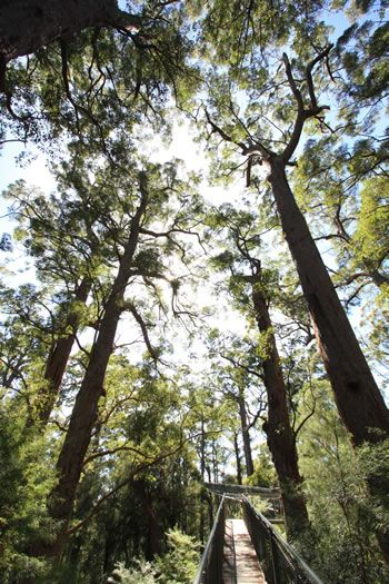 The red tingle trees of the Ancient Empire's Walk are a prime example of the South-West's forests which date from when the land here was attached to the supercontinent of Gondwana.