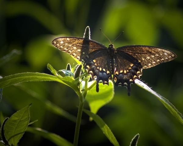Evening Glow-Spicebush Swallowtail I
