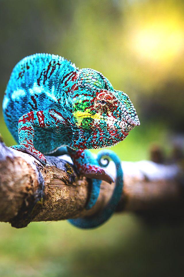 Camaleão azul claro com manchas verde  amarelo vermelho