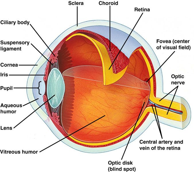 internal structure of eye pdf