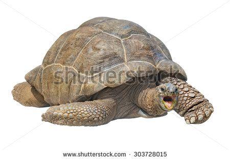Seychelles giant tortoise (Aldabrachelys gigantea), isolated on white background
