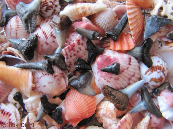 Best beaches in Florida for shells...venice beach good for sharks teeth