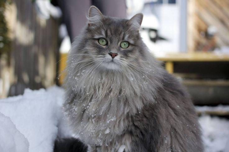 Серая Сибирская кошка фото