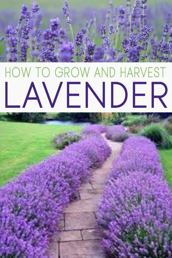 Child Food Tips In Tamil Info 7191588290 Gardeningtipsonterrace Growing Lavender Lavender Garden Plants