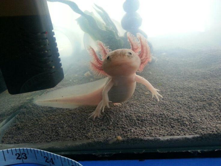 Floating axolotl