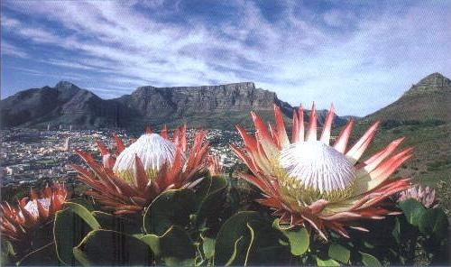 Table Mountain, with our national flower, the Protea