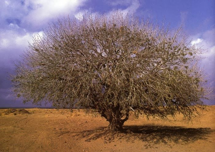 Islam Miracles: Believed to be the Tree which Blessed Prophet Hazr...