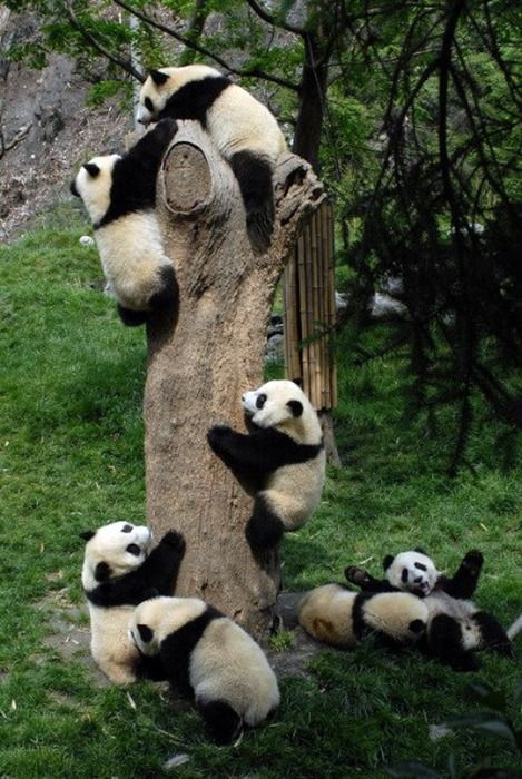 Panda Bears crawling on a tree, so many! And so dirty that their cream coat is brown :)